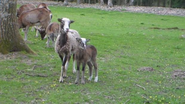 Alpes mancelles activités : Parc animalier du Mont Narbonne - Saint-Léonard-des-Bois - SAINT-LÉONARD-DES-BOIS -